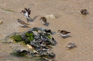 Aves en la ria de Ribadesella