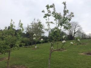 Manzano floreciendo