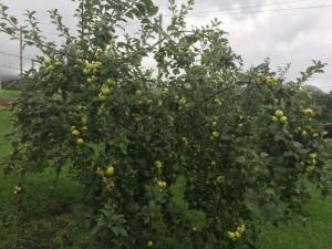 Manzanos del jardín de la casa rural - cosecha año 2017