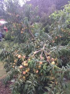 Melocotonero cosecha 2017 en el jardín del rincón del sella